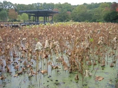 蓮池の枯れ蓮