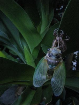 ハマユウの葉で羽化