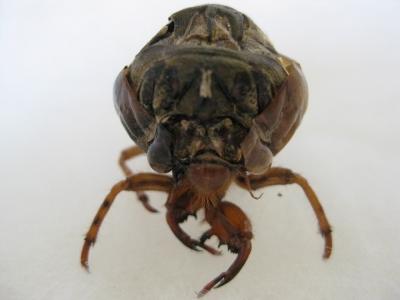 羽化できなかった蝉の幼虫 前から撮る