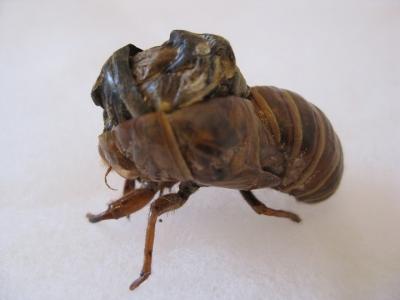 羽化できなかった蝉の幼虫 横から撮る