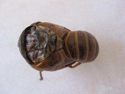 羽化できなかった蝉の幼虫 真上から撮る