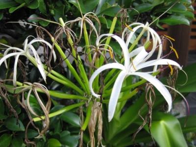 ハマユウの花 3