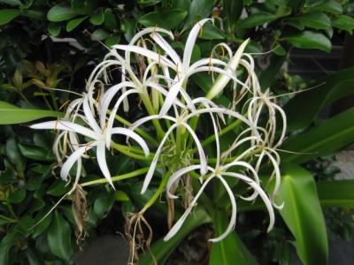 ハマユウの花 2