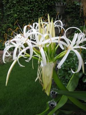 ハマユウの花