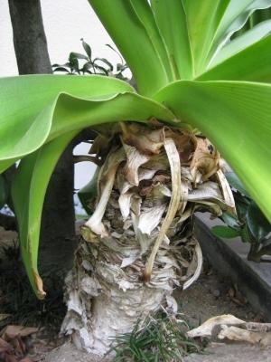 ハマユウの株元 偽茎・鱗茎