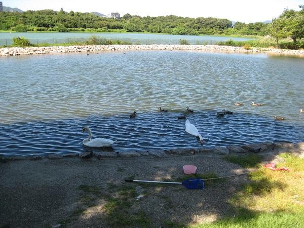 多くのコブハクチョウがいなくなって寂しい昆陽池・給餌池
