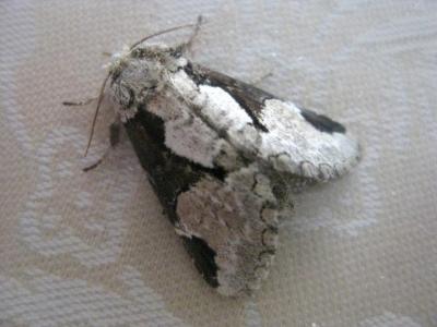 シロヘリキリガ 成虫の表面