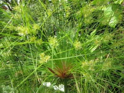 水草 パピルスの花序