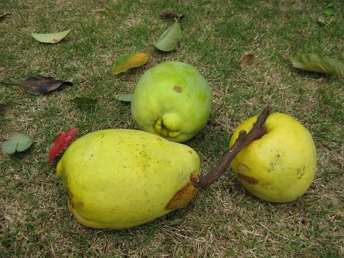 台風の暴風雨で落下したカリンの果実