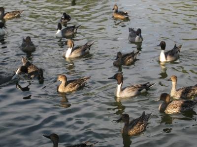 昆陽池・給餌池を泳ぐカモたち