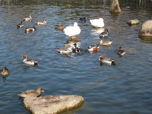 昆陽池・給餌池のアヒル・カモたち