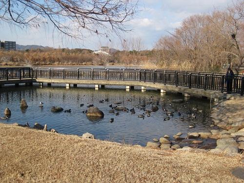 昆陽池・給餌池のたまり場で泳ぐ少数のカモ