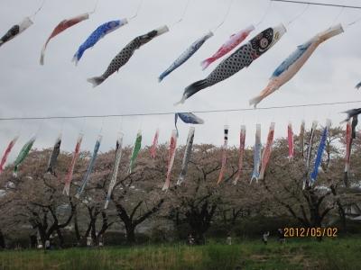 北上川の鯉のぼりと桜