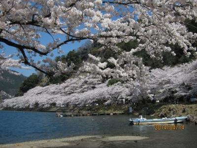 海津大崎の桜 船着場