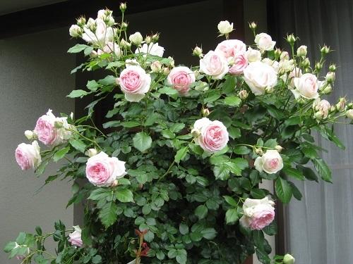 ピエール ドゥ ロンサール 蕾・カップ咲き・ロゼット咲き・クォーターロゼット咲き
