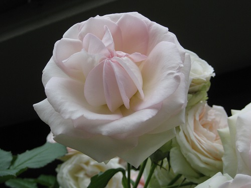 ピエール ドゥ ロンサール 中心部も淡い色の花