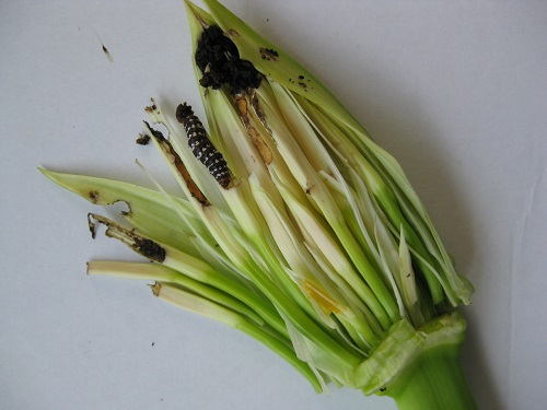 幼虫が入ったハマユウの蕾