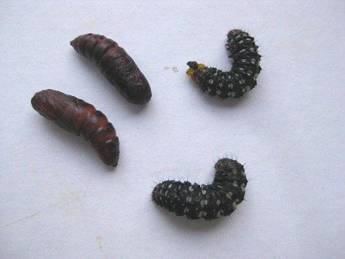 ハマオモトヨトウの幼虫と蛹