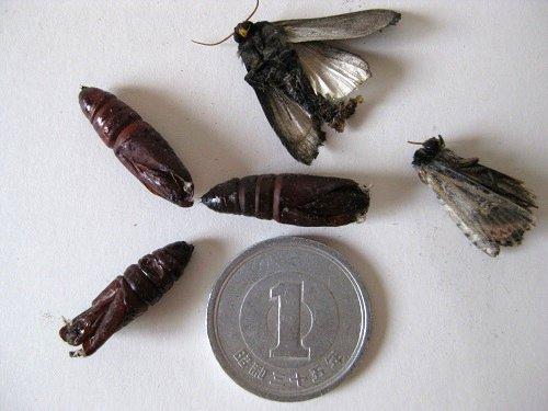 ハマオモトヨトウの成虫死骸と蛹の抜け殻