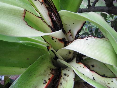 ハマユウの葉の付け根から出てきた蛹