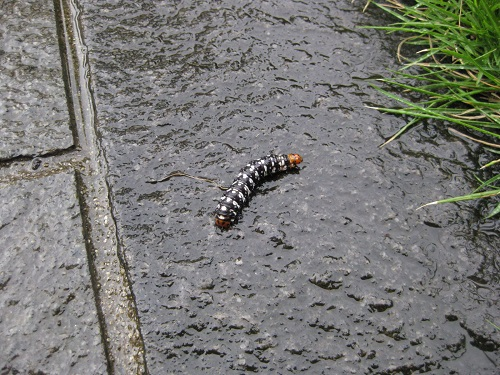 速足で逃げるハマオモトヨトウの幼虫