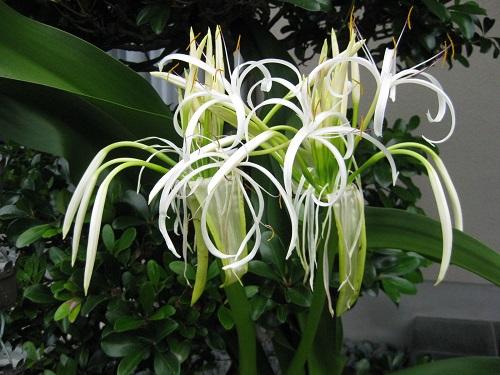 ハマユウの花 二つ
