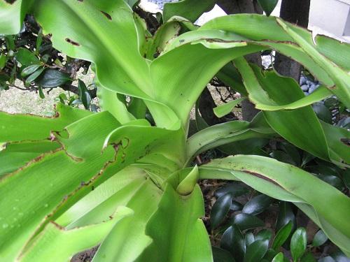 虫食い跡があるハマユウの葉、小さな蕾
