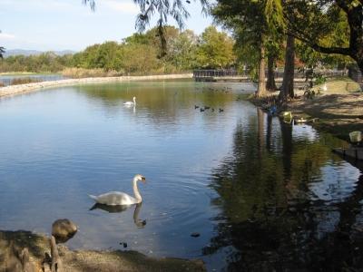 昆陽池・給餌池のコブハクチョウ