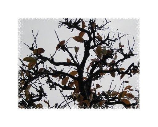 ほぼ落葉したカリンの木