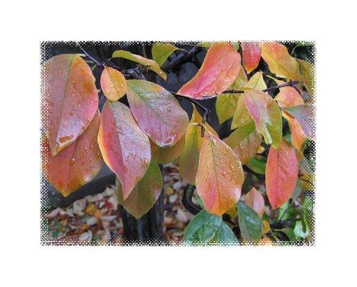 カリン 幹の下部の葉の紅葉