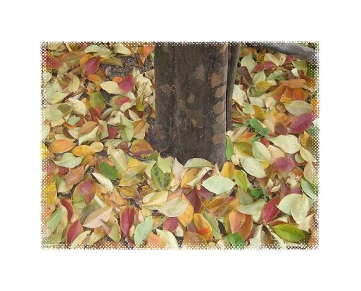 カリンの根元を敷き詰めた落葉