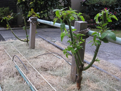 バラ花壇に植付けた2株