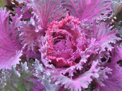 葉牡丹 切り葉タイプ 赤紫色に銀ねずみ色入り