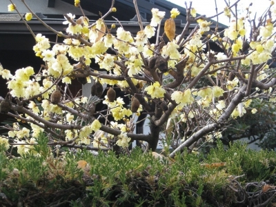 ソシンロウバイの花と果実 2