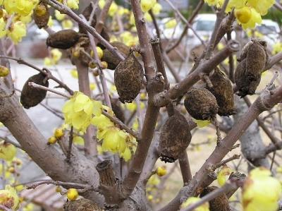 ソシンロウバイの花と果実 1