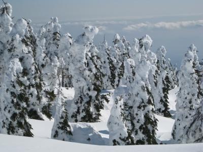 樹氷が解けてアオモリトドマツが見えている