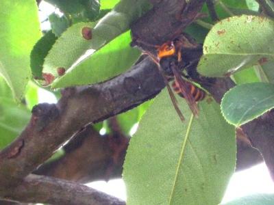 樹液を吸っているコガタスズメバチ(2)