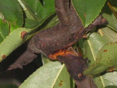 カリンの木の裂けた樹皮部分