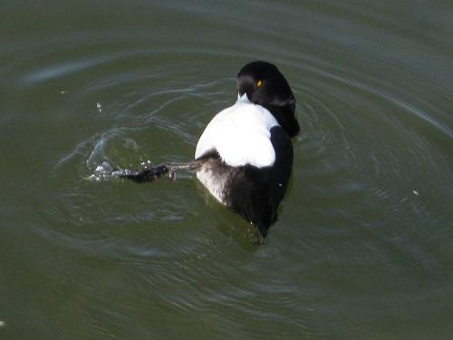 水面で羽繕いするキンクロハジロ オス