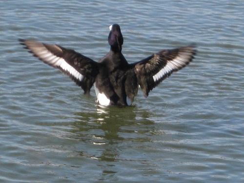 水中で羽ばたくキンクロハジロ オス