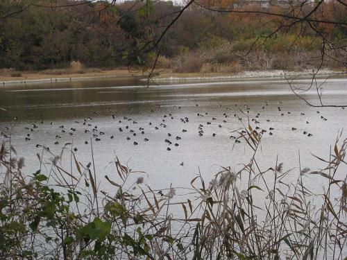 昆陽池で遊泳中のキンクロハジロ 大群
