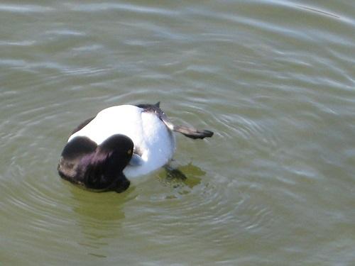 水面で羽繕い キンクロハジロ オス