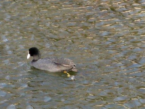 遊泳中のオオバン 1羽