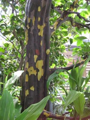 カリンの木脱皮