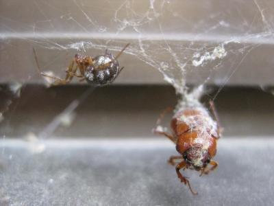 オオヒメグモと捕らえた獲物