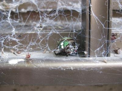 オオヒメグモの巣にかかった小昆虫