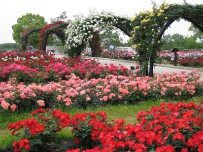 バラ園 バラのアーチ