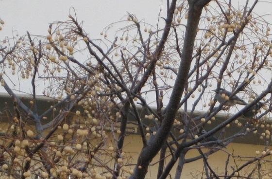 センダンの実と鳥