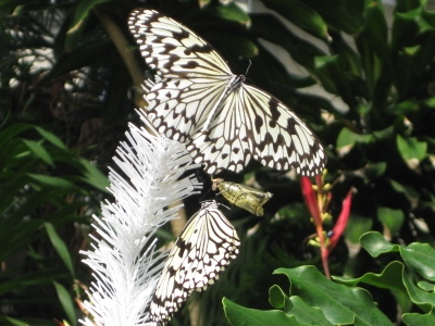 さなぎツリーの天辺でオオゴマダラ羽化