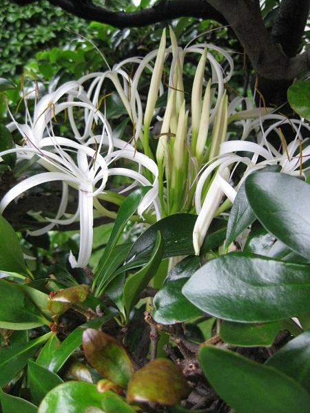 ハマユウ 2番花